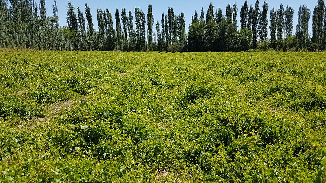 Lotes de Portainjertos - Plantas Injertadas de Vid - Vivero San Nicolas -1