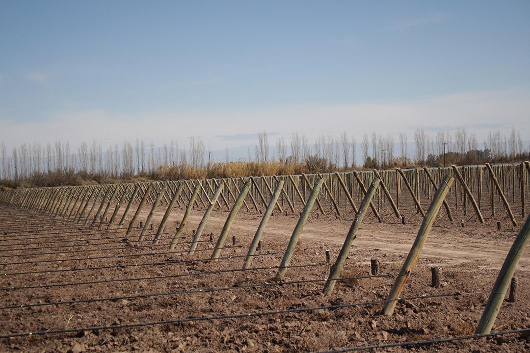 Plantas de Vid - Nuevas Plantaciones - Vivero San Nicolas -2