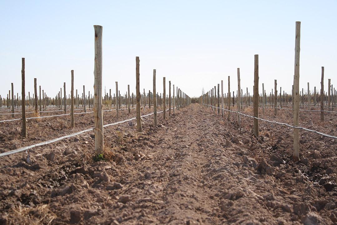 Plantas de Vid - Nuevas Plantaciones - Vivero San Nicolas -5