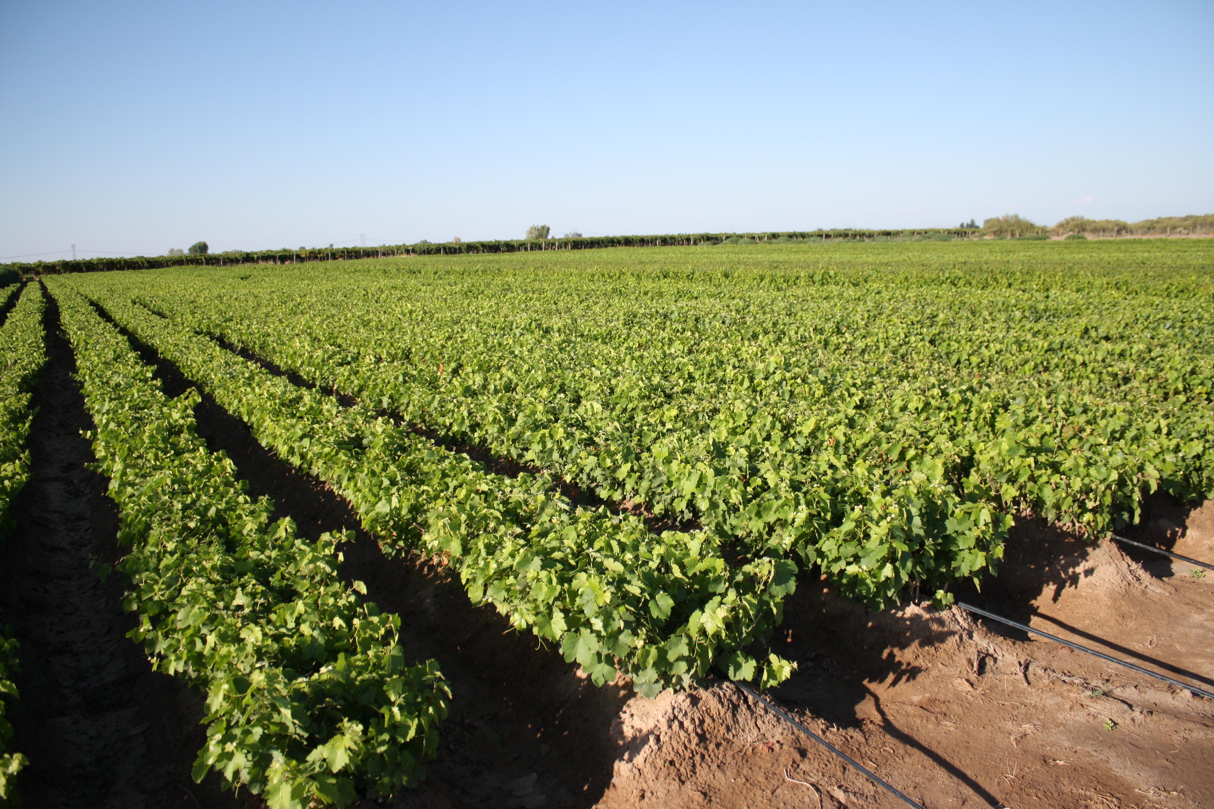 Plantas de Vid - Barbechos - Vivero San Nicolas 8