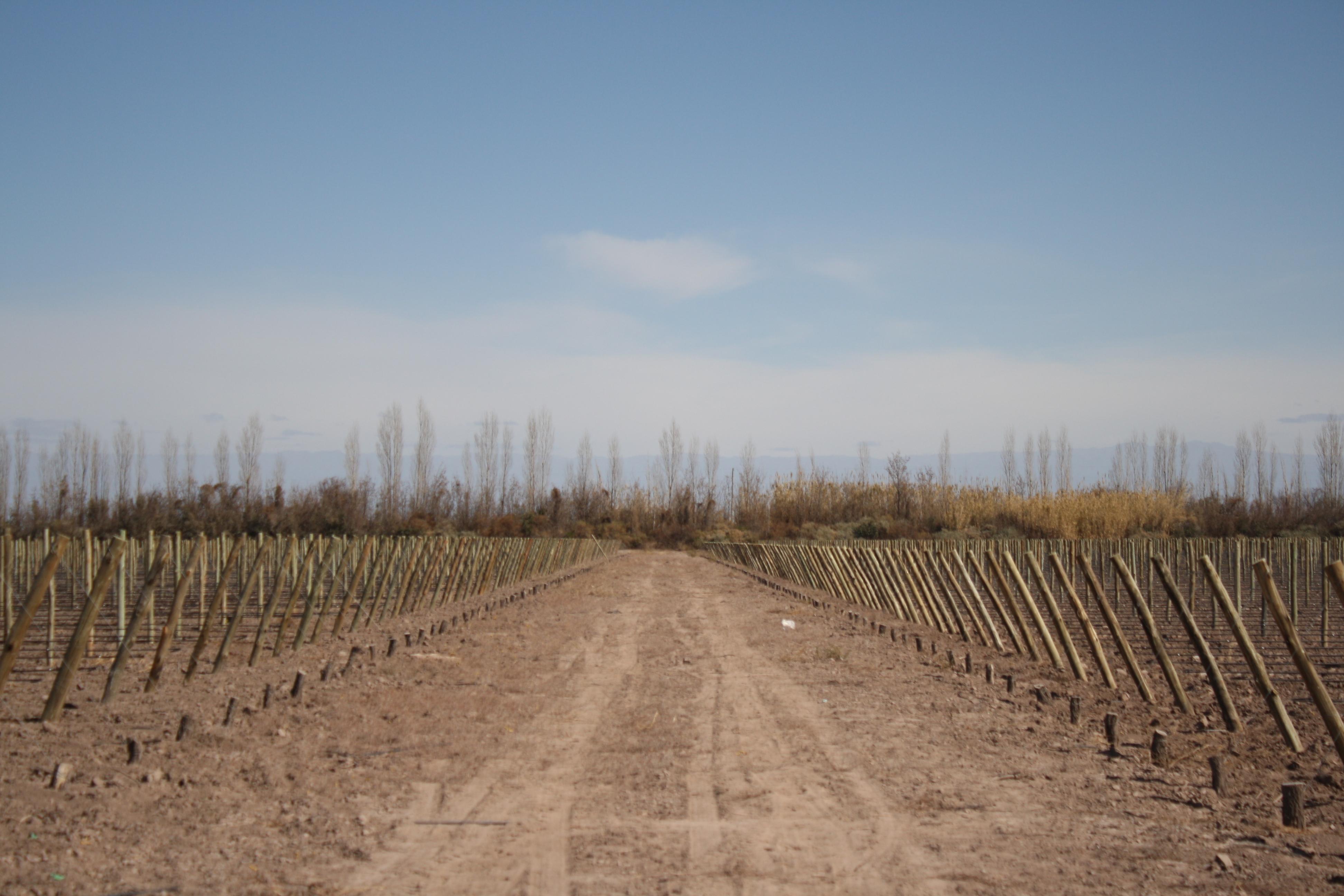 Plantas de Vid - Nuevas Plantaciones - Vivero San Nicolas 3